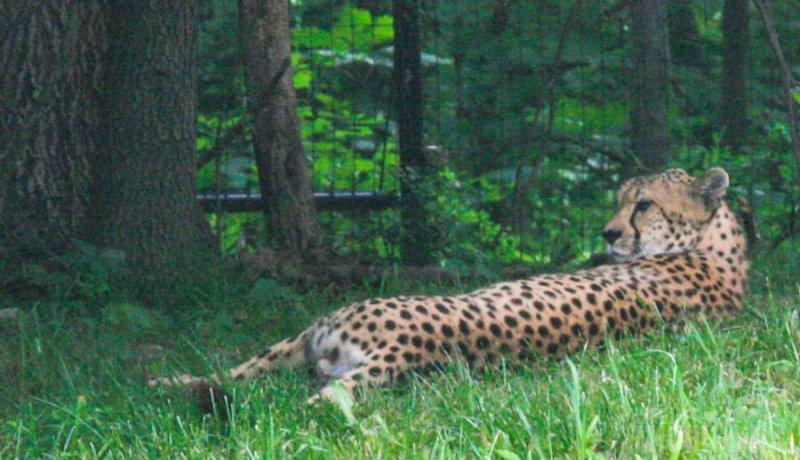 Cheetah lounging
