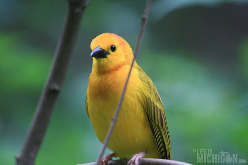 Golden Weaver poses for the camera