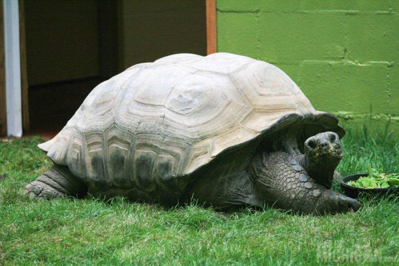 Tortoise takes a break from breakfast