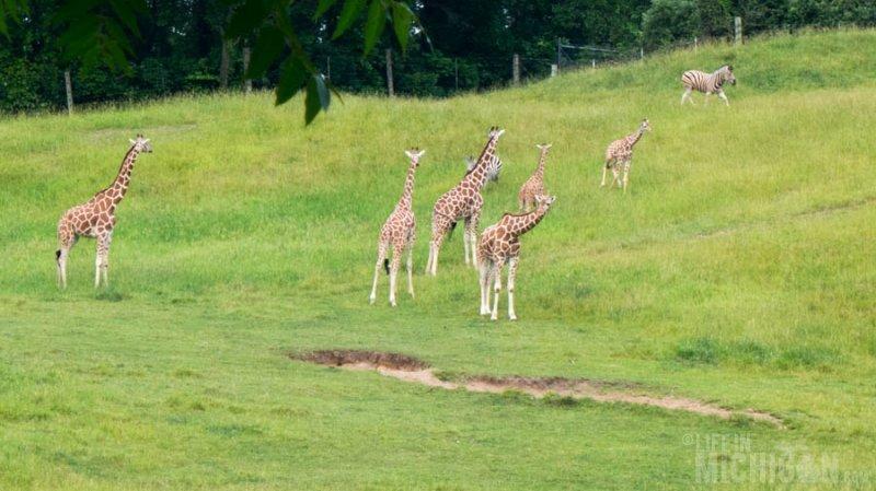 Giraffe cheer on the runners