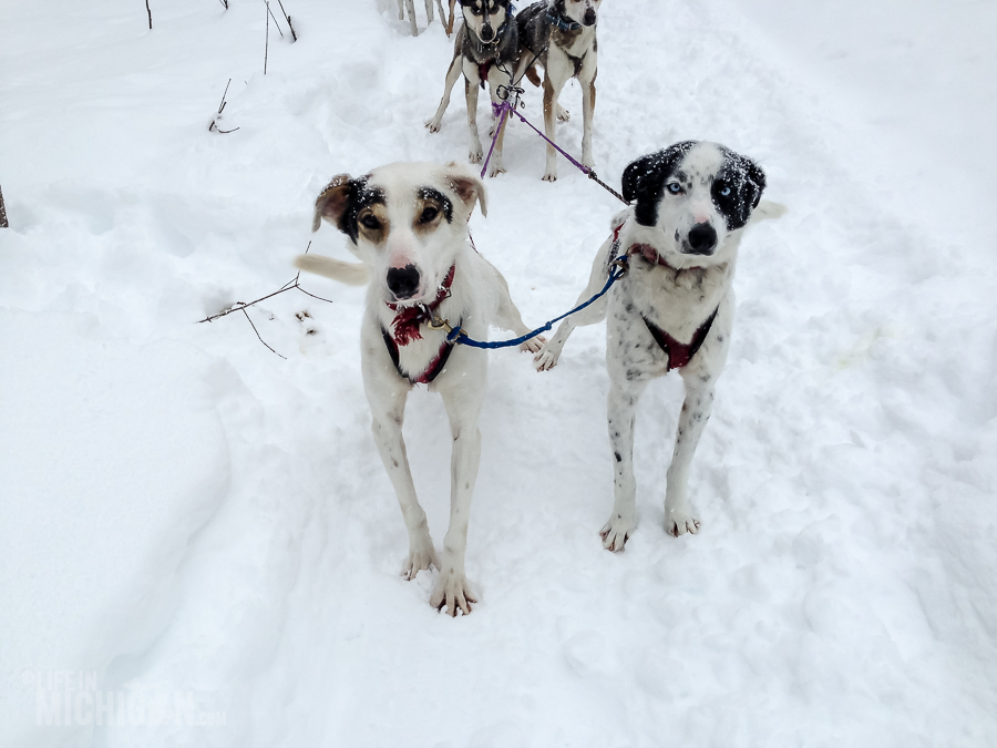 Dog sledding Munising - U.P. Winter - 2014 -20