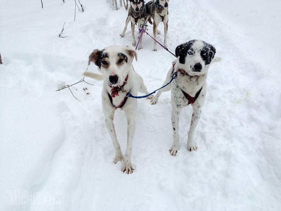 Dog sledding Munising - U.P. Winter - 2014 -20