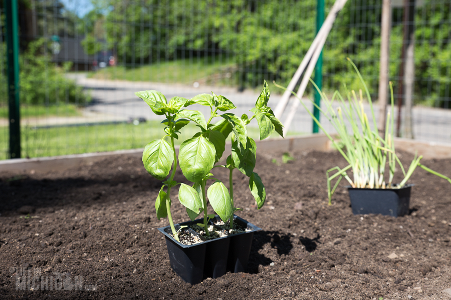 Basil and Onions - Spring Gardening