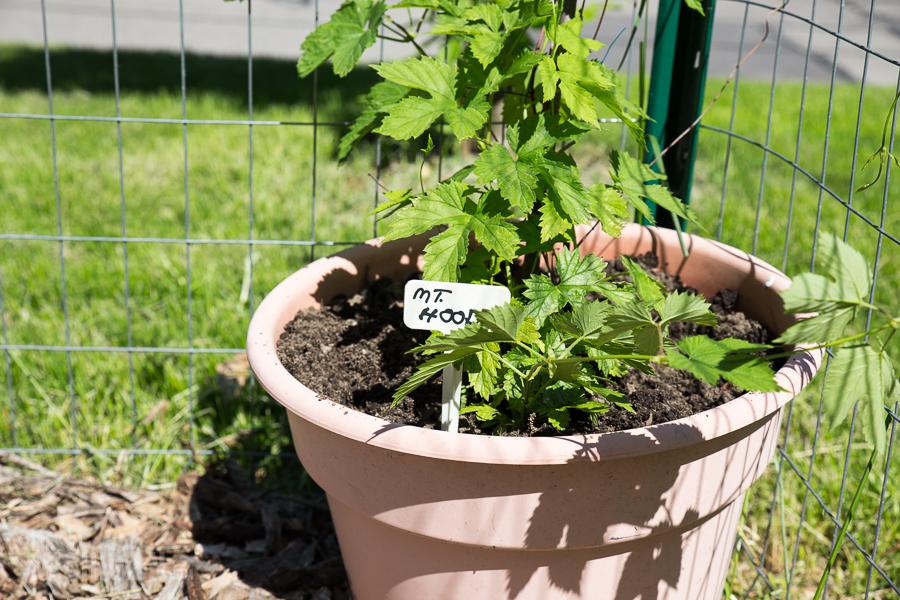 Mt. Hood Hops - Spring Gardening
