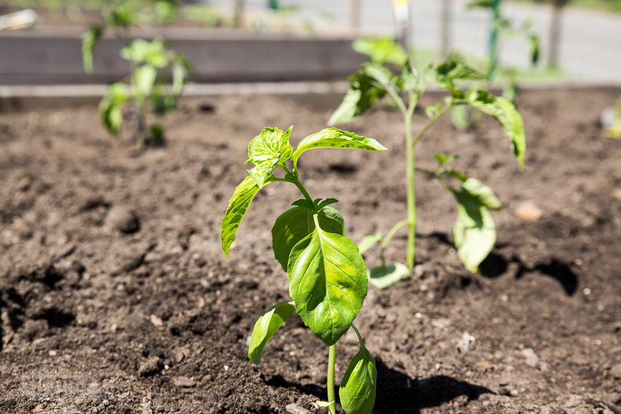 Basil - Spring Gardening