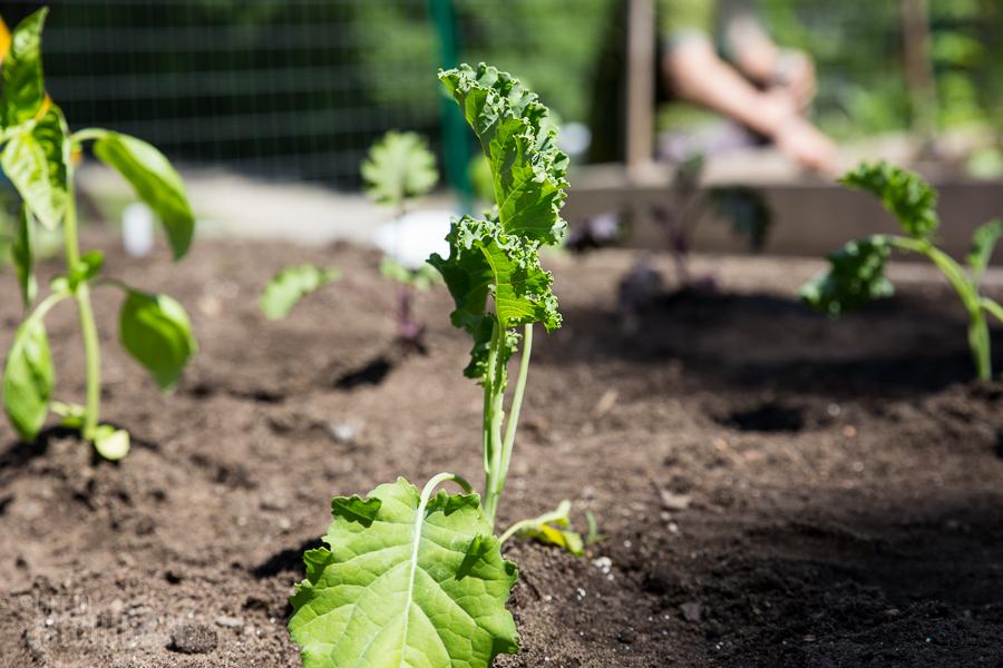 Kale Plant - Spring Gardening