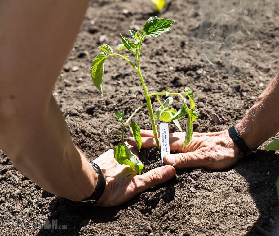 Planting Tomatoes - Spring Gardening