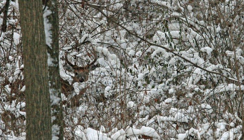 Michigan White Tailed Deer