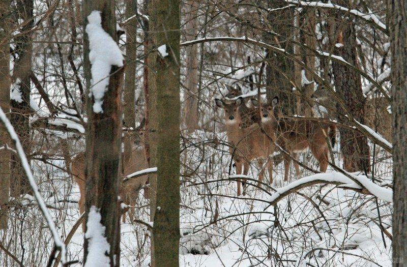 Michigan White Tailed Deer Herd