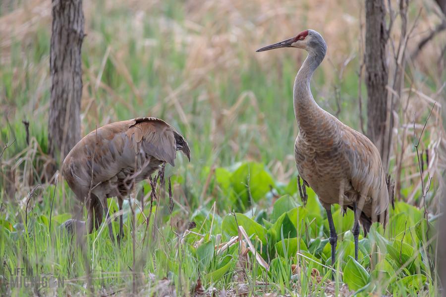 Kensington-Metropark-Wildlife-20